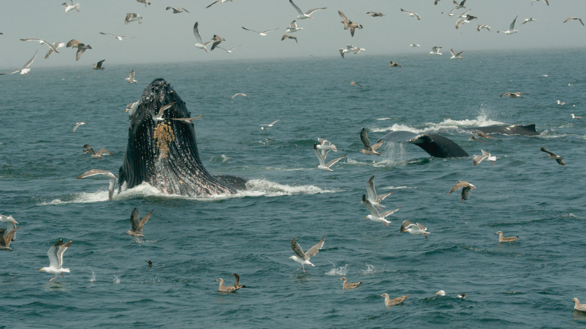 22 GPFF - Humpback-Whales-A-detective-story_