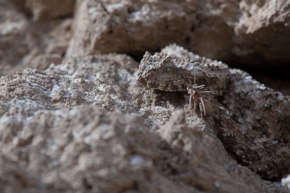 22 GPFF: IN THE REALM OF THE SPIDER-TAILED VIPER